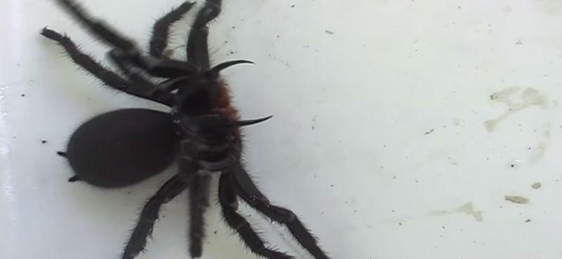 Meer dan 100 dodelijke spinnen gevonden in verlaten huis