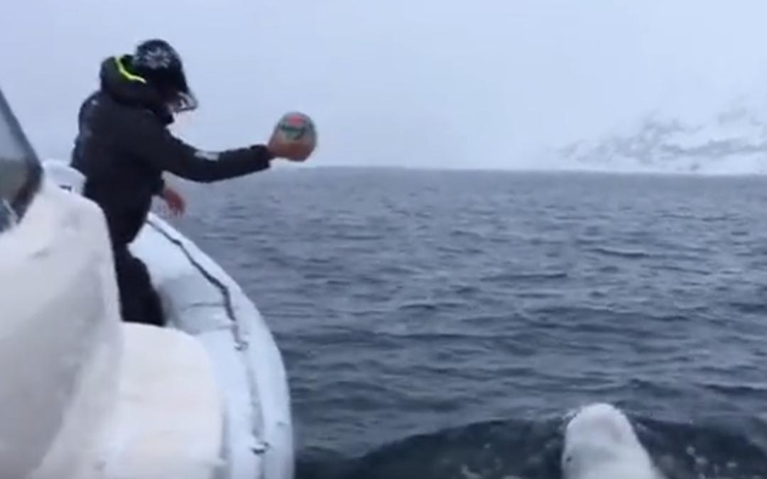 Beluga Walvis (Witte Dolfijn) doet aan apporteren