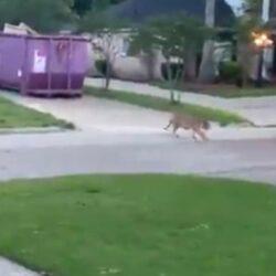 Bengaalse tijger loopt op straat in Houston, man opgepakt