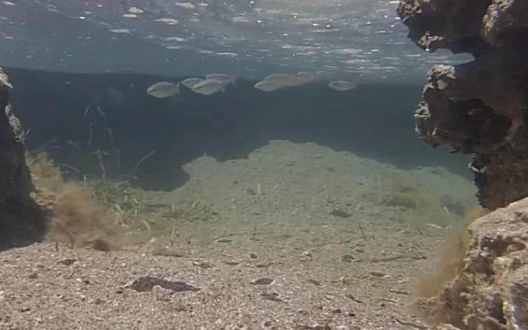 Hardervissen onderwater opnamen