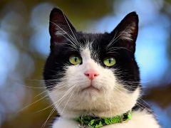 Oggy de kat heeft borstkanker eerder door dan bazin