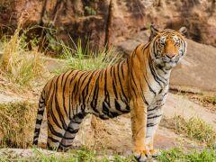 Twee dierenverzorgers in China gedood door tijgers