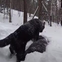 De vriendschap tussen een Panter en een Rottweiler