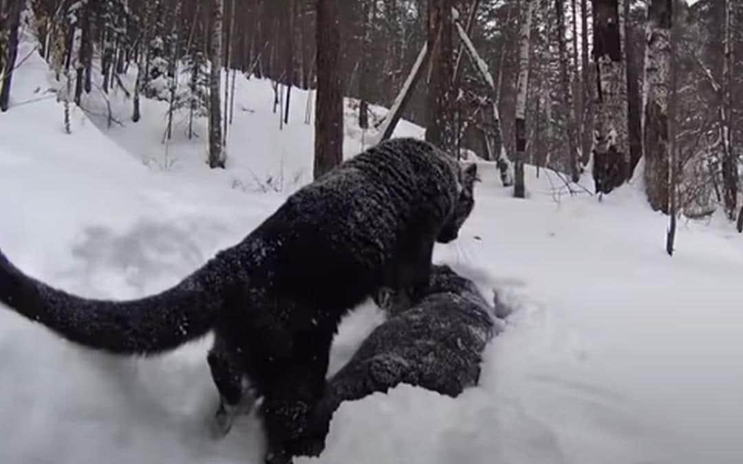 Vriendschap tussen een panter en een rottweiler