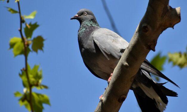 Burenruzie, getergde buurman zaagt boom in tweeën na ruzie over duivenpoep