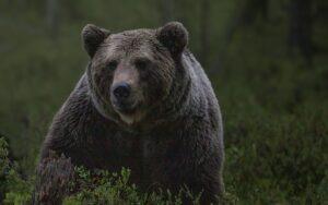 Russische politicus denkt beer te schieten